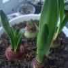Коли викопують тюльпани і нарциси? І коли їх висаджують знову?