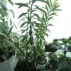 У кого-то цвіла аглаонема скромна?