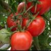Гібрид томата «благовіст f1»: опис та характеристики сорту помідорів, рекомендації по вирощуванню