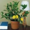 Скільки днів тримається розквітла квітка глоксинії?