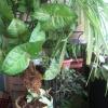 Скажіть сингониум зелений смарагд сорт виростає швидко або він повільний в зростанні