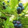 Лохина в саду: культура, агротехніка, освоєння в російських садах