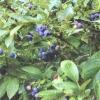Лохина високоросла в саду: агротехніка, сорти, корисні властивості