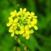 Гірчиця: захист городу