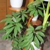 Скільки живе ростения диффенбахії і китайські троянди