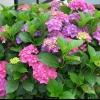 Гортензія на одному місці 3 роки, погано росте і цвіте. Навесні пересадити?