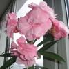 Олеандр. Олеандр висотою 1, 10 м. За 2 роки, цвів. Коли краще обрізку робити навесні або восени?