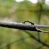 Гусениця землемір: дивовижний, але дуже небезпечний сусід