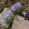 Хіондокса: розмноження, догляд і види хіонодокси, хионодокса в культурі і в оздобленні саду