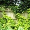 Хміль - рослина, фото