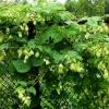 Хміль - трава-велетень, корисні властивості хмелю, опис, фото