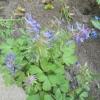 Ряст у весняному саду
