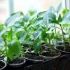 Холоди не перешкода - дізнаємося коли садити перець на розсаду в сибіру: вибір і підготовка насіння, строки коли садити, догляд після пересадки у відкритий грунт