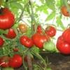 Хочете нереальних врожаїв? Вибирайте томат сорти «бабусине»: опис і фото