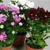 Хризантеми: вирощування розсади з насіння, полив, добриво, догляд за квітами