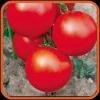 І в салат і в банку! Опис універсального сорти томата «ефемер»