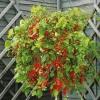 І смачно і красиво - сорт томата садові перлина