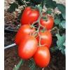 Ідеальний сорт для початківців городників - томат «рома» f1. Опис, характеристика і фото помідор «рома» vf