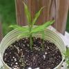 Імбир на підвіконні: вирощування в домашніх умовах