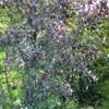 Ірга, її види, вирощування в саду, використання в якості підщепи