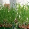 Використання гідропоніки і вирощування зелені в домашніх умовах