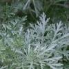 Використання полину гіркого і ромашки аптечної в боротьбі з шкідниками саду і городу