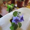 З насіння стрептокарпус (магазин) виросли рослини: листя опушені а форма як у подорожника