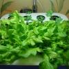 Виготовлення гідропоніки для салату своїми руками