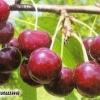 Вивчення дюков, випробування вишні-черешневих гібридів на зимостійкість