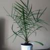 Я точно знаю, що з кісточки фініка можна виростити пальму. Хто знає як?