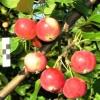 Яблуні алтайської селекції, полукультуркі