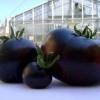 Яскравий представник темноплодних - томат «черномор» опис сорту і його характеристика