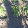 Експеримент з вирощування перцю