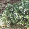 Еріка трав`яна, або рум`яна (erica herbacea l., або е. Carnea l.) в наших садах