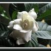 Чому айстри хризантеми та жоржини зацвітають тільки в кінці літа?