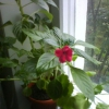 Це хойя чи ні? Я думаю - хойя, а моя знайома каже - що немає. Якщо немає, то що за рослина?