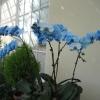 Це хризантема?