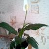 Розмноження аспарагуса насінням. Хто стикався з цим? Занадто трудомістким?