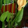 Як часто цвітуть кали? І як правильно за нею доглядати? Живу в квартирі