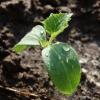 Як часто і чому полити розсаду огірків щоб не витягується і не хворіла? Правильний режим поливу на різних стадіях росту