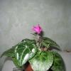 Як домогтися пишне цвітіння цикламена?