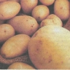 Як довше зберегти картоплю, оптимальні умови для зберігання
