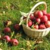 Як зберігати врожай свіжих яблук в квартирі на зиму?