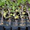 Як і чим краще підгодовувати розсаду томатів в домашніх умовах?