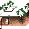 Як посадити полуницю, технологія посадки, коли садити і як доглядати