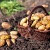 Як використовуються сидерати для картоплі?