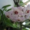 Чому не цвіте хойя?