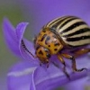 Як позбутися від колорадського жука