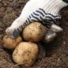 Як позбутися від парші картоплі