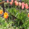 Як я позначаю тюльпани